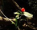 Malvaviscus arboreus in Costa Rica.jpg