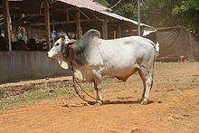 a humped white bull, with grey on the shoulders