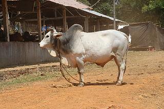 Malvi Breed of cattle