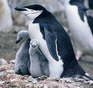 Chinstrap penguin - Adult with juveniles