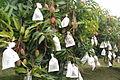 Mangoes in paper bags.jpg