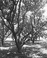 Mangoo tree, UP India.jpg