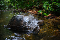 Manouria-emys-asian-forest-tortoise.jpg