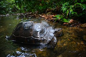 Description de l'image Manouria-emys-asian-forest-tortoise.jpg.