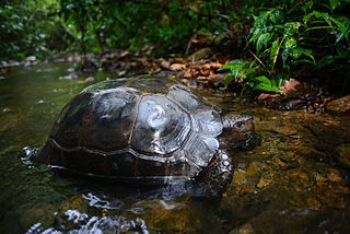 Asian forest tortoise species of reptile