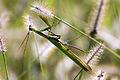 Mantis religiosa (7).jpg
