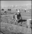 Manzanar Relocation Center, Manzanar, California. Evacuees of Japanese ancestry are growing flouris . . . - NARA - 537981.tif
