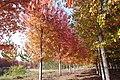 Maples 0375.jpg