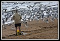 Margate Pelican Rescue- Sally feeding Seagulls-1 (6804590684).jpg