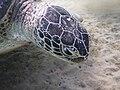 Marsa Murena Schildkröte dicht.JPG