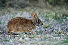 Marsh Rabbit NPSPhoto, R. Cammauf (9255116503).jpg