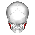 Masseter muscle - posterior view.png