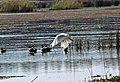Mathoura, Murray Valley National Park, Australian White Ibis 03.jpg