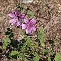 Mauve sylvestre-Malva sylvestris-Calvisson RGF-20140806.jpg