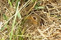 Meadow brown (NH Klainova) (32834090225).jpg