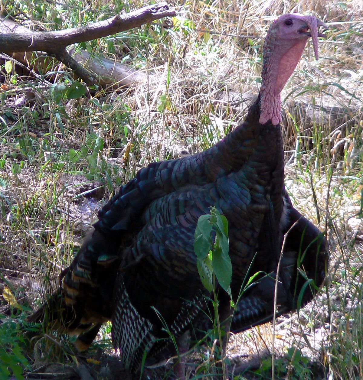 wild turkey - Wiktionary