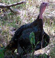Meleagrididae: Wild Turkey