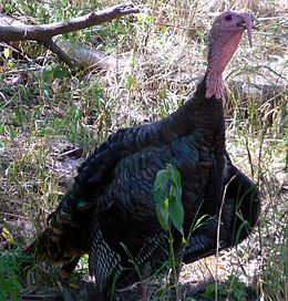 Meleagris gallopavo Wild Turkey