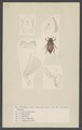Melolontha - Print - Iconographia Zoologica - Special Collections University of Amsterdam - UBAINV0274 001 05 0054.tif