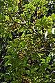 Memecylon umbellatum fruits-കാശാവ്.jpg