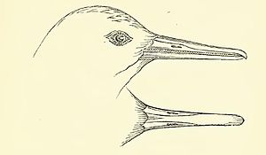 New Zealand merganser - Drawing of the head