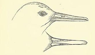 New Zealand merganser - Drawing of the head