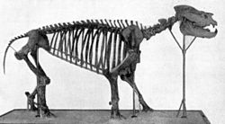 Metamynodon skeleton.jpg