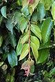 Meteoromyrtus wynaadensis 05.JPG