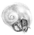 Meyer 1829 Nova Acta Phys-Med 15-2 pl 58 fig 5 Laevaptychus latus.png