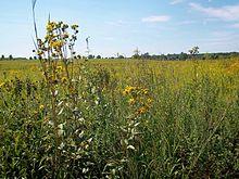 tall grass field long grass tallgrass prairie flora midewin national prairie prairie wikipedia