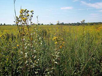 Prairie - Tallgrass prairie flora (Midewin National Tallgrass Prairie)