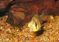 Mikrogeophagus altispinosus 2 PiaH.jpg