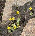 Mimulus primuloides Primrose monkeyflower cluster.jpg