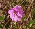 Mirabilis californica 2003-05-19.jpg