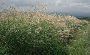 Chinese reed (Miscanthus sinensis)