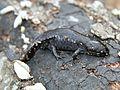 Mole Salamander (Ambystoma talpoideum) - Flickr - GregTheBusker.jpg