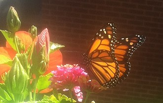 Butterfly gardening - Lantana used to attract monarch butterflies