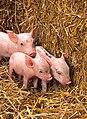 More piglets.jpg