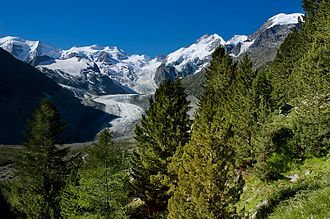 Piz Bernina - View from the pine and larch woodland above the Morteratsch Glacier