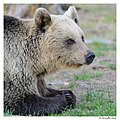 Mother bear (14317784231).jpg