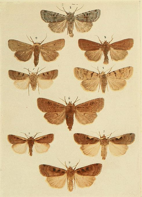Moths of the British Isles Plate110.jpg