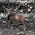 Mouflon de Corse Aran Park 14082018 2.jpg
