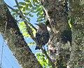 Moulting Juvenile European Starling. Sturnus vulgaris - Flickr - gailhampshire.jpg