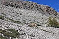 Mountain Goat at Parkers Ridge Trail - Columbia Icefield.jpg