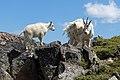 Mountain Goats DSCF8688.JPG