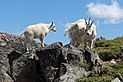 Mountain Goats DSCF8688.JPG