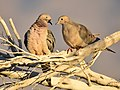 Mourning Dove (40535545502).jpg