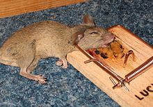 https://upload.wikimedia.org/wikipedia/commons/thumb/6/69/Mousetrap_with_mouse.jpg/220px-Mousetrap_with_mouse.jpg