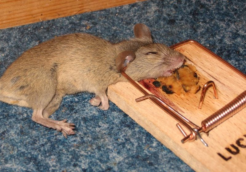 Mouse Traps: The Best Way to Get Rid of Mice