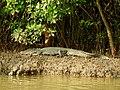 Mugger Crocodile Crocodylus palustris Zuari Goa by Dr. Raju Kasambe DSCN0812 (3).jpg